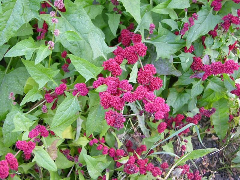 1280px-Chenopodium capitatum Strawberry Blite 2048px