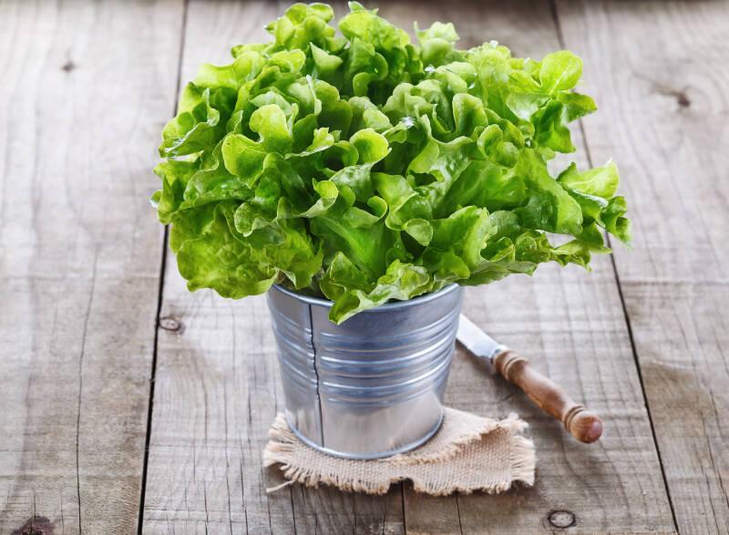 7 Salastsorten: Eichblattsalat