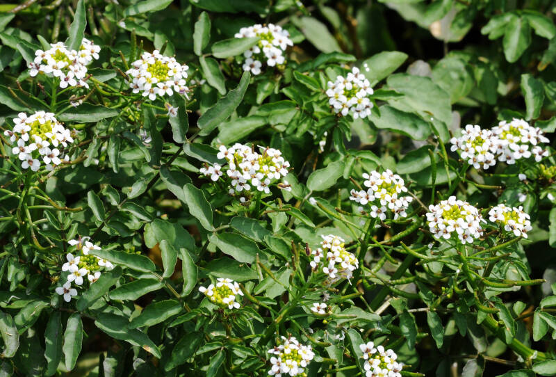 Brunnenkresse Flowers of Watercress (Nasturtium officinale)