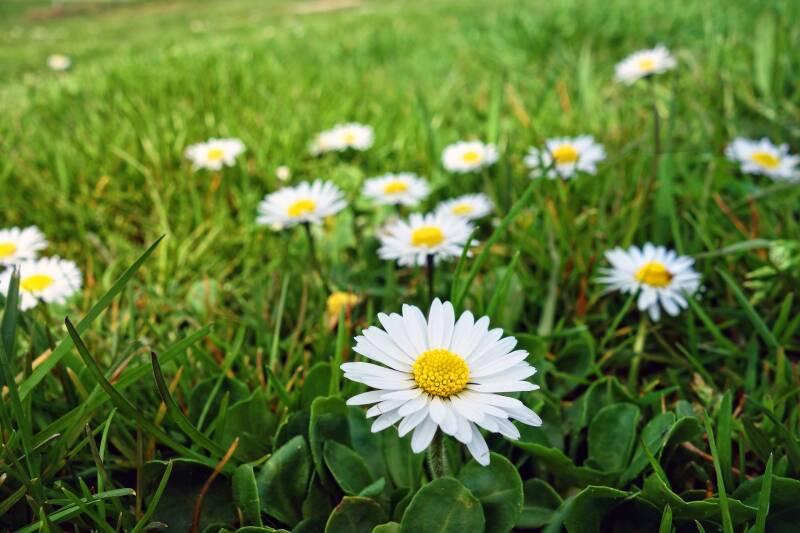 common-daisy-3309145 1920