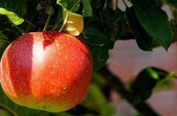 In Deutschland gibt es unzählige Apfelsorten – alles was du über die 10 beliebtesten Sorten wissen musst, habe ich dir in diesem Artikel zusammengefasst. Auf dem Bild ist ein rötlicher Apfel an einem Apfelbaum zu sehen. Von vorne fotografiert.