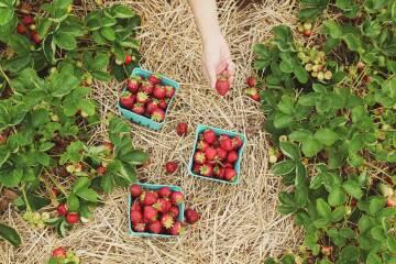 farsai-c-317437-unsplash erdbeeren5