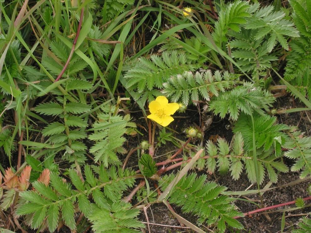 Gänsefingerkraut Zilverschoon plant Potentilla anserina