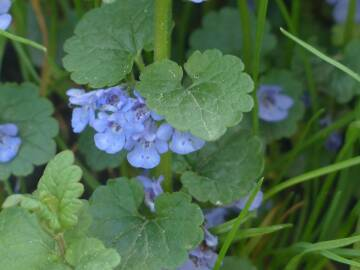 ground-ivy-116264 1920