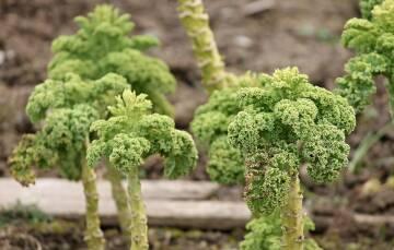 Grünkohl Pflanze