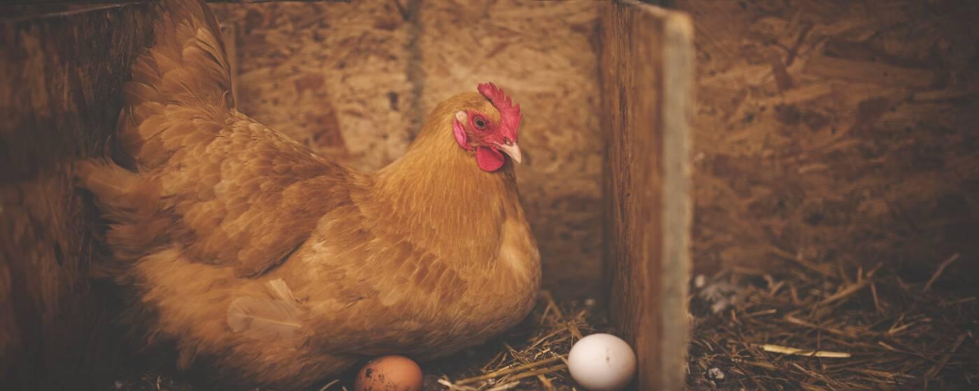 hühnereier befruchtet kaufen