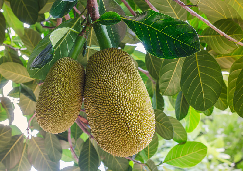 Jackfruit: Am Baum