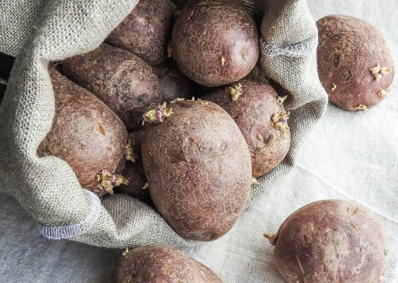 Keimende Kartoffeln 2
