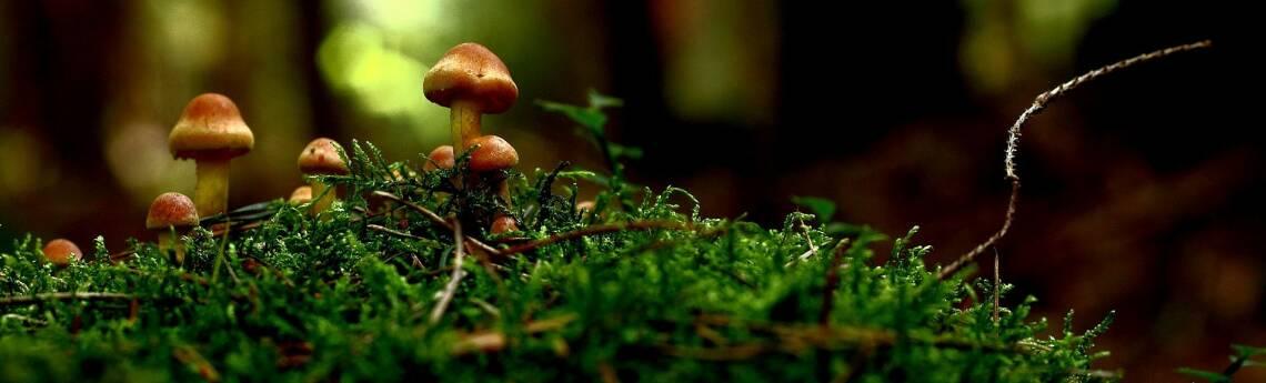5 Pilze, die direkt vor deiner Haustüre wachsen