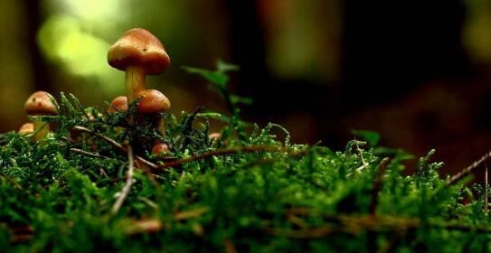 In diesem Artikel erfährst du, welche 5 Pilzarten direkt vor deiner Haustüre wachsen