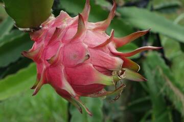 red-dragon-fruit-1973815 1920