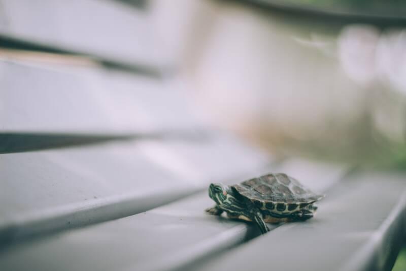 Gesund abnehmen geht langsam und stetig, wie die Schildkröte auf diesem Bild.