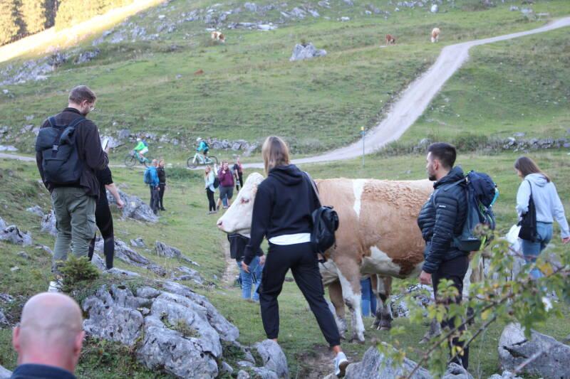 Das SevenCooks Team beim Wandern auf dem Bodenschneid - eine Kuh kreuzt den Weg.