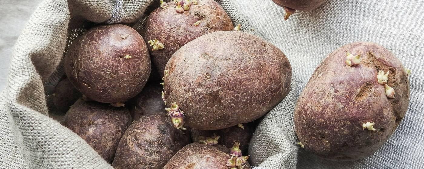 Treibende Kartoffeln mit kleinen Trieben auf einem hellen Kartoffelsack
